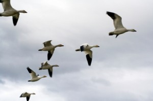 snowgeese1 300x199 MD Age, Specialty Impact Care Post MI