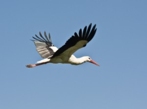 stork 300x223 Maternity Care: Same Old Story