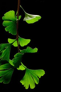 cantrememberwhatthisis1 200x300 Bag the Ginkgo Biloba